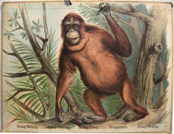 766 - Orang-Outang, Orang-Outang, Oang-Utang, Orangutano, Orang-Oetang